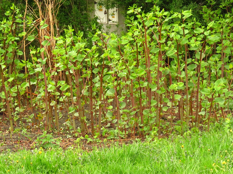 Selling a house with knotweed